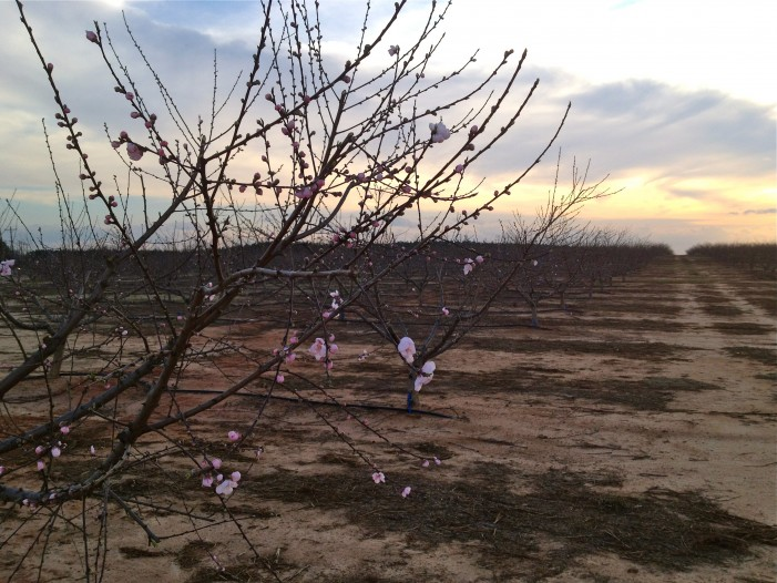 Early Peach Blossoms