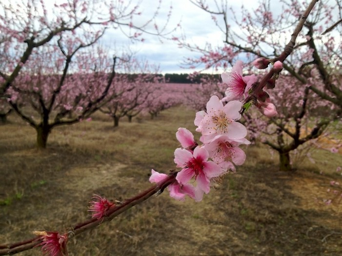 Peach Blossoms Continue to Impress
