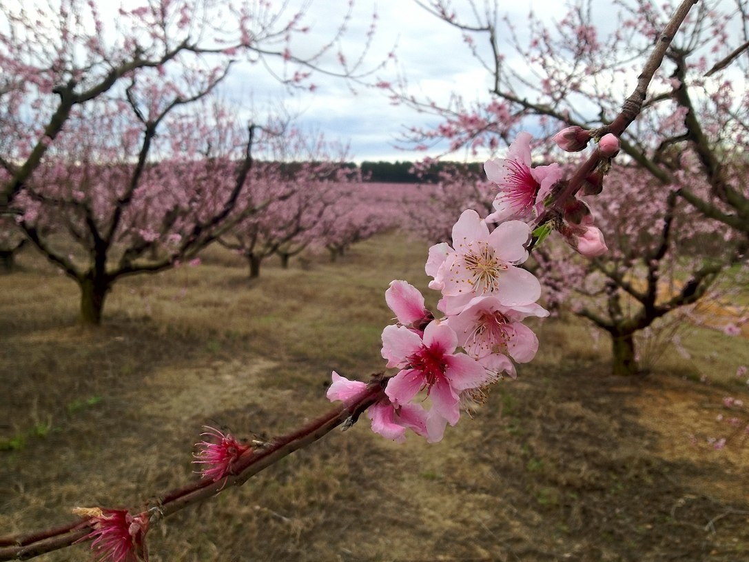 Gas Prices In Sc >> Peach Blossom Festival This Weekend – The Edgefield Advertiser