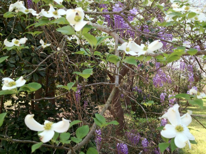 Wisteria Opens to Spring