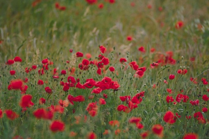 Poppy Days This Weekend – May 24,25
