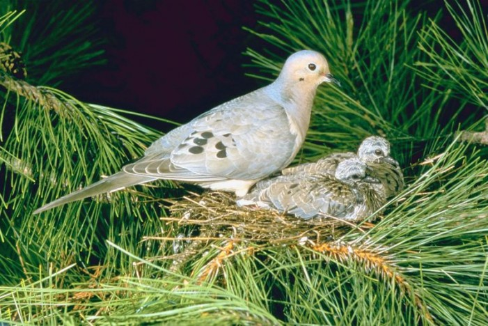 Successful Fall Dove Hunt Depends on Planning, Preparing Fields Now