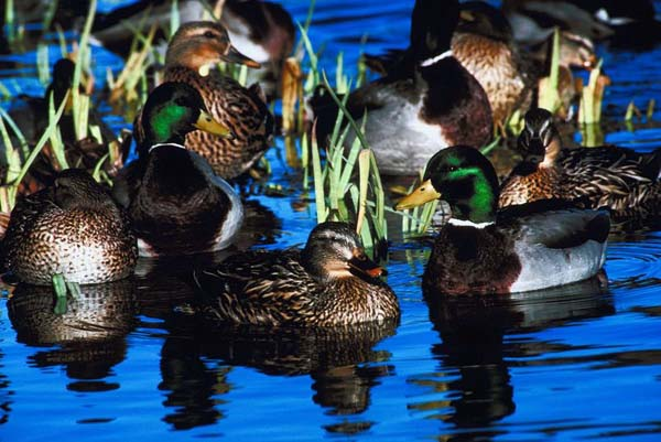 Late-Season Migratory Bird Regulations Set