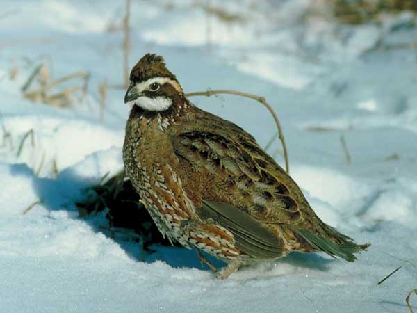 Preserve Fall, Winter Habitat for Quail, Rabbits