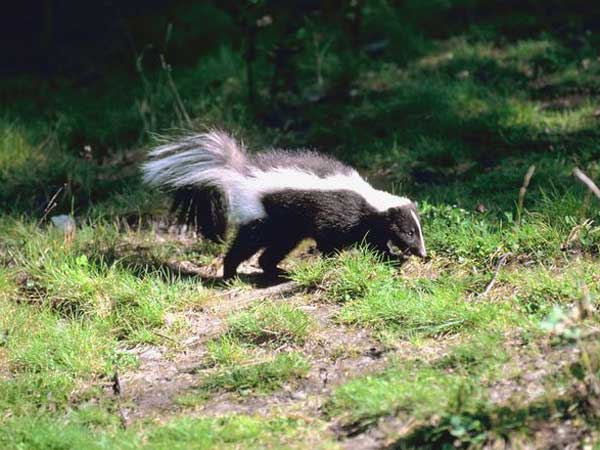Edgefield County Skunk Positive for Rabies
