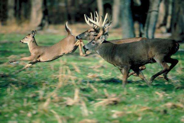 Deer Baiting Bill Heads to Governor's Desk for Signing