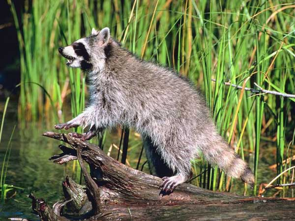 Youth Coon Hunt to be Held in Edgefield on Saturday, Nov. 3