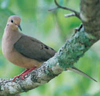 Dove Hunting Resumes Nov. 17