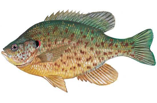 SCDNR to Stock 15,000 Redear Sunfish in Savannah River Near Edgefield/McCormick