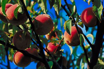 The Trenton Peach Festival Is On! – 44th Festival on June 15th