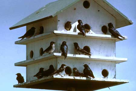 Purple Martin Time in Carolinas