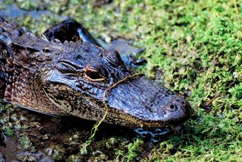 2013 Public Alligator Hunting, Special WMA Season Applications Available Online May 1