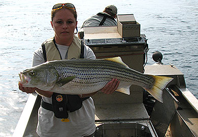 SC, GA DNR's, Army Corps Team Up for Lake Thurmond Striper Study