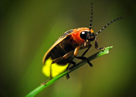 Clemson Vanishing Firefly Project Asks Public to Count Flashes June 1