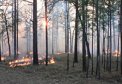 Thermal Thinning and Pruning with Prescribed Fire