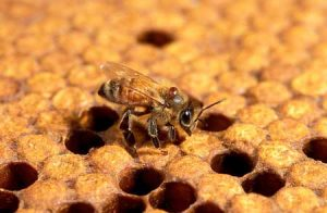 Honey bees are threatened by an increasing number of environmental problems and pests, such as the tiny parasitic varroa mite clinging to the neck of this bee. image by: U.S. Department of Agriculture