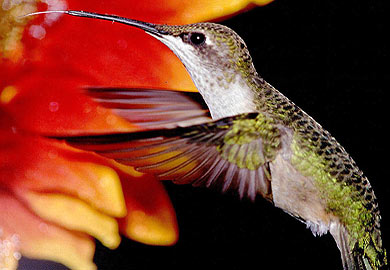 Hummingbirds Returning to South Carolina
