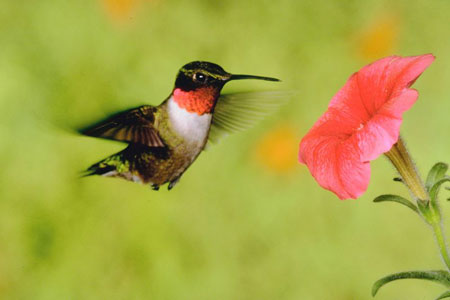 Feed Summer Hummingbirds for Entertainment, Beauty