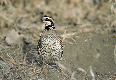 Commercial License Needed to Sell Pen-Reared Quail