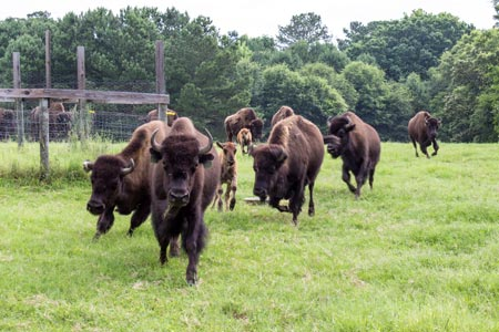 A Herd of Buffalo in Edgefield County