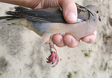 Banded Mourning Doves Provide Vital Information to Biologists