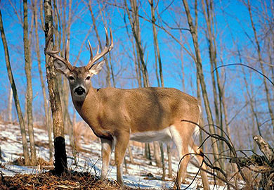 Deer Season Forecast Good