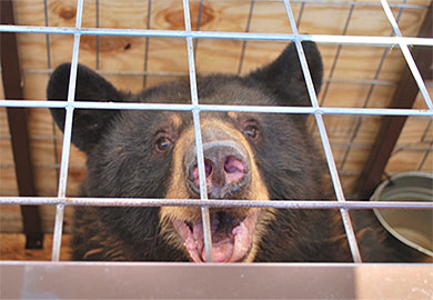 Six South Carolina Captive Bears Moved to Colorado Wildlife Sanctuary