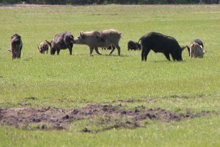 Researchers Tackle Problem of Feral Hog Overpopulation, Damage