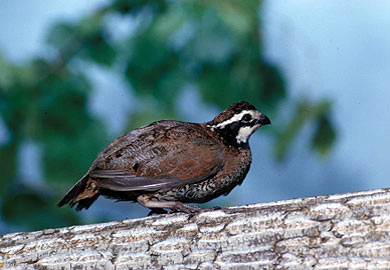 Landowners Learned Techniques of Improving Quail Habitat