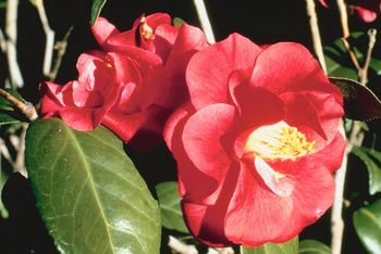 Edgefield Camellia Club Tea