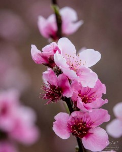 More-Peach-Blossoms-1-2