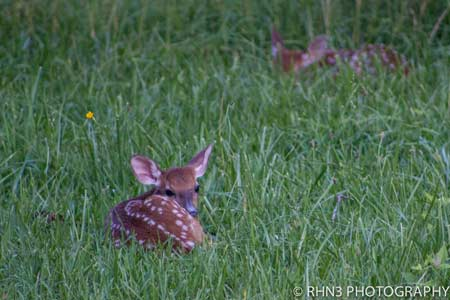 "Adopting a ""Lost"" Fawn is Illegal and Likely Not Abandoned"