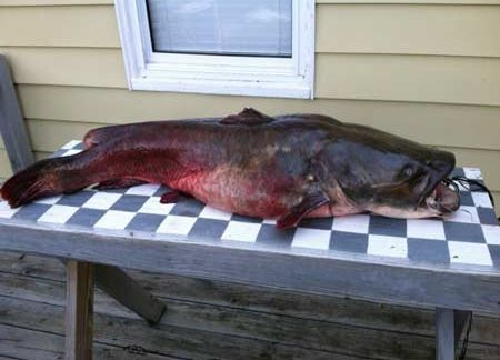 57 1/2 lbs Flathead Caught on Lake Thurmond