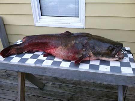 57 1/2 lbs Flathead Caught on Lake Thurmond