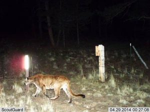 A cougar in Colorado