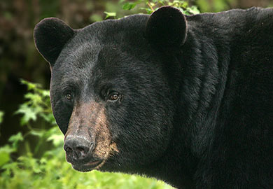 DNR Offers Guidelines for Dealing with Bears; Report a Sighting Website