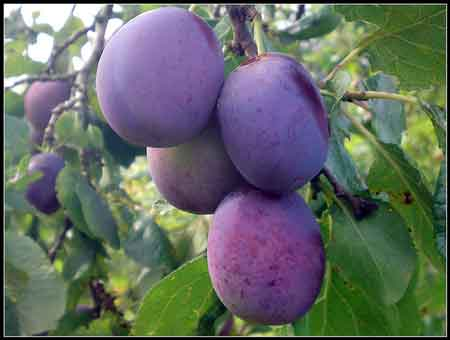 Thieves Pluck Plums From Trees
