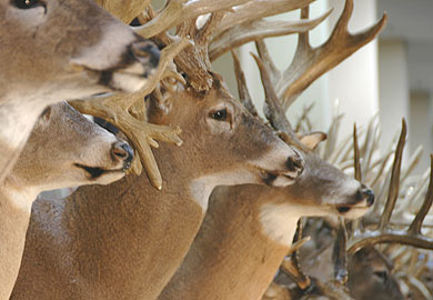 State Antler Records Down Slightly This Year