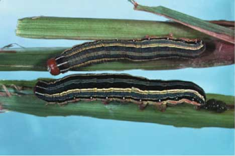 Fall Armyworms Are Here in South Carolina