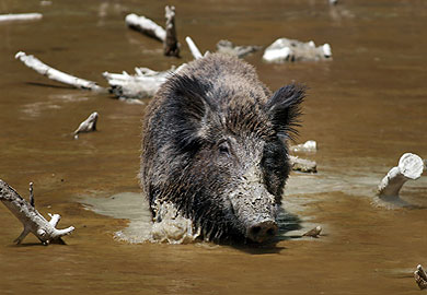 Wild Hog Management Workshop Scheduled for Dec. 11 in Ridgeland