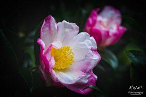 Camellia-1-2-3