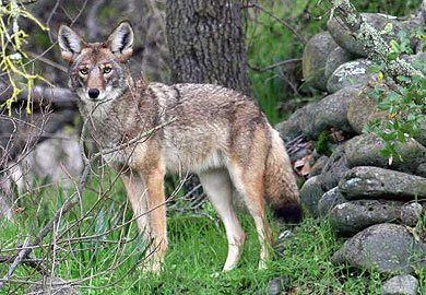 DNR to Conduct Coyote Biology, Control Program Jan. 27 in Greenville