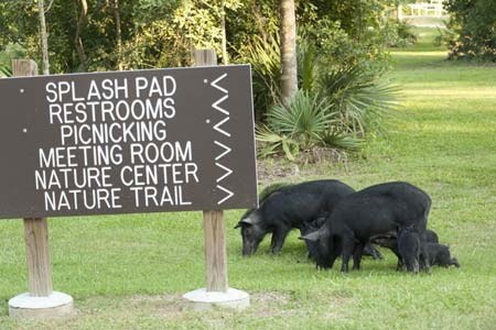 S.C. Landowners to be Surveyed About Feral Hog Damage, Interactions