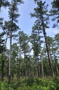 """Pine decline"" is thought to be caused by a combination of factors, including stress, bugs and fungus. Image Credit: Clemson University"