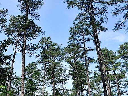 Timber Meeting to Brief Landowners on 'Pine Decline'