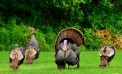 Spring Turkey Season Forecast from DNR