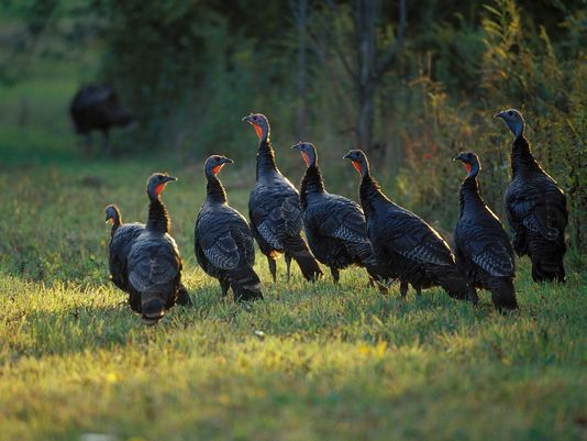 Volunteers needed to participate in DNR's  annual Summer Turkey Survey