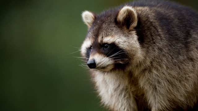 Rabid Raccoon Found In Edgefield County