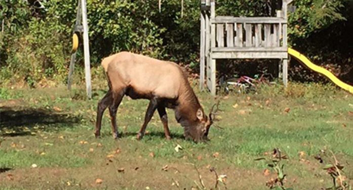 SCDNR-Biologists: Don't approach elk that has wandered into SC