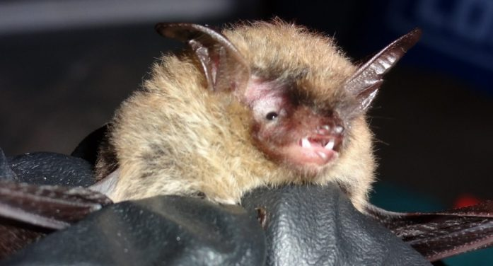 Northern long-eared bats discovered in Beaufort County